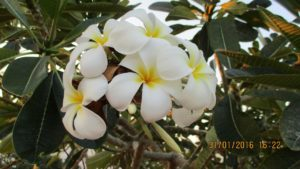 Балийско цвете.